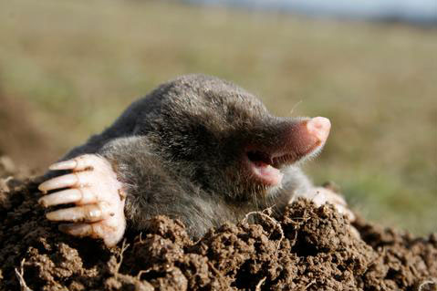 How deep are the tunnels that moles dig